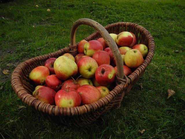 sklizeň jablek.jpg