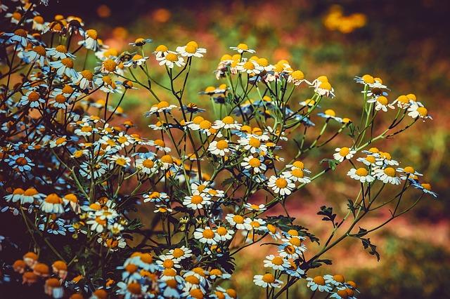 rostlina heřmánku