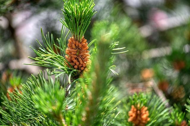 jehličí borovice